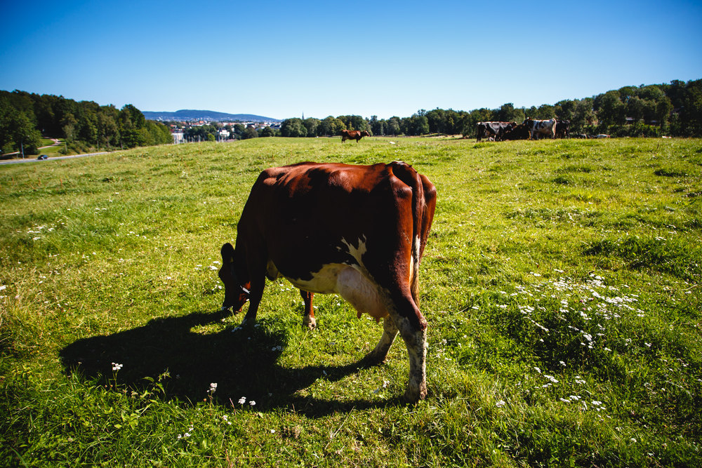 Cows graze on the grounds of The Royal Manor in Bygdøy.