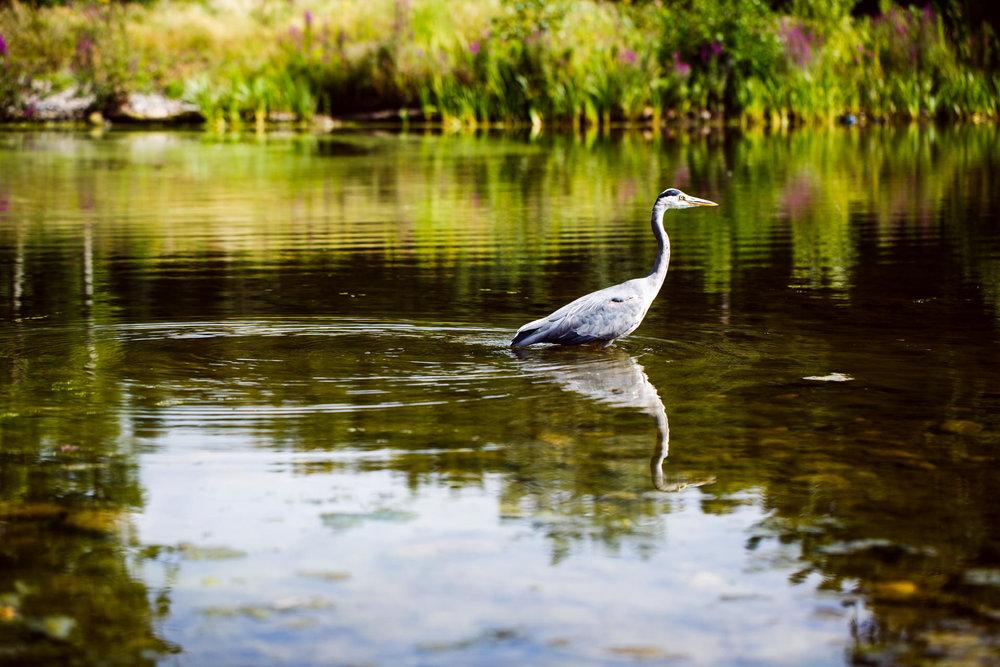 Andrew Wilson Photography Liverpool (8) Festival Gardens Chinese Pond Herron.jpg