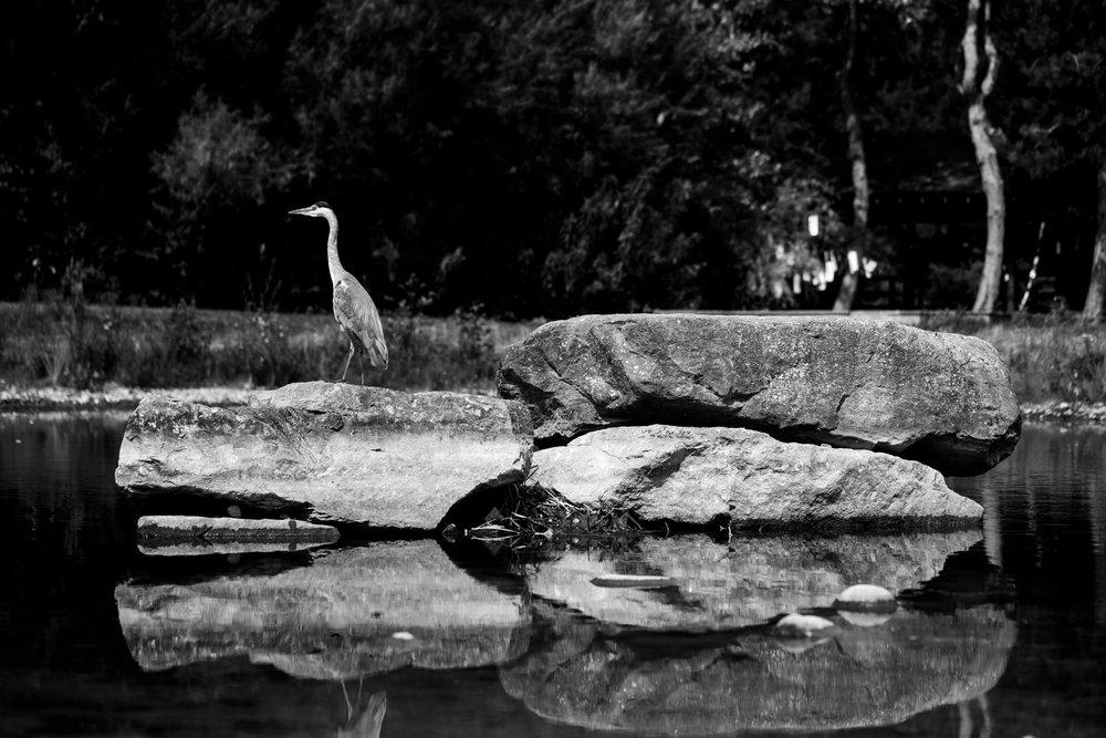 Andrew Wilson Photography Liverpool (9) Festival Gardens Chinese Pond Herron.jpg
