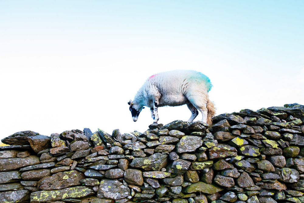 After leaving the 'Cathedral Quarry' I spotted this sheep displaying some impressive wall-walking skills.