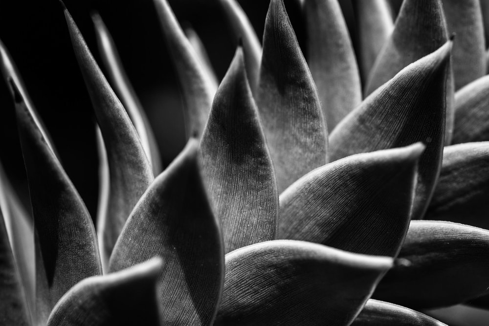 Detail of a monkey puzzle tree...