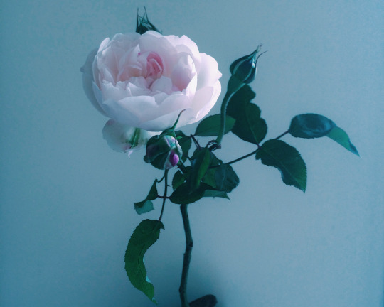 Amongst a bunch of white garden roses was one little odd rose, covered with pink blemishes. It was plucked out and disregarded for the arrangements as it was not as beautiful as the others. But as the rose bloomed it turned into a gracious swan of a rose, a beautiful pink one.