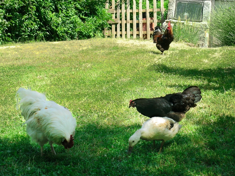chickens_marc (1).jpg