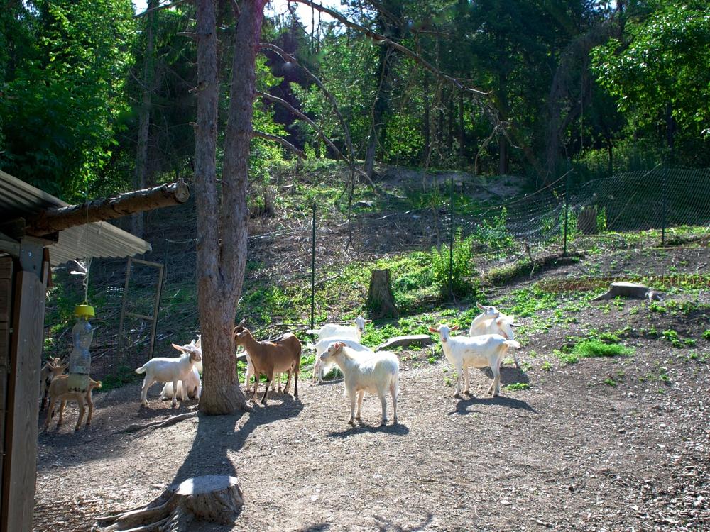 goats_marc.jpg