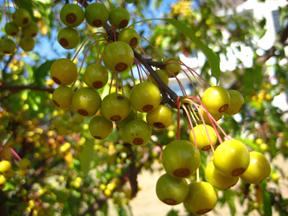 golden raindrops crab apple