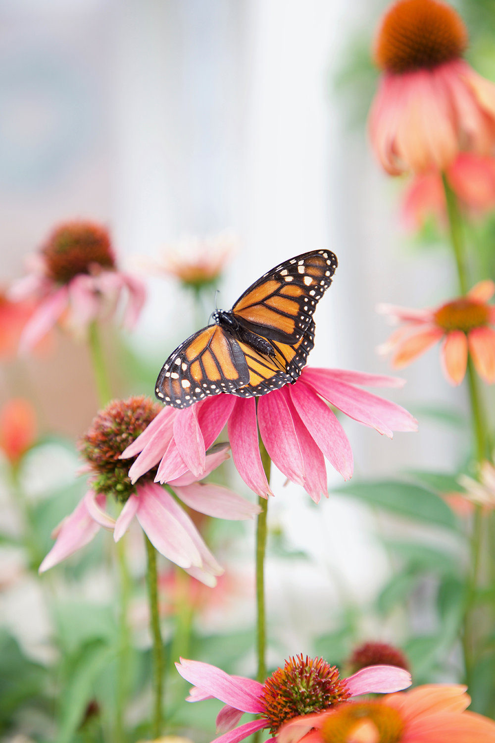 Monarch on Coneflower by Sharon Holland