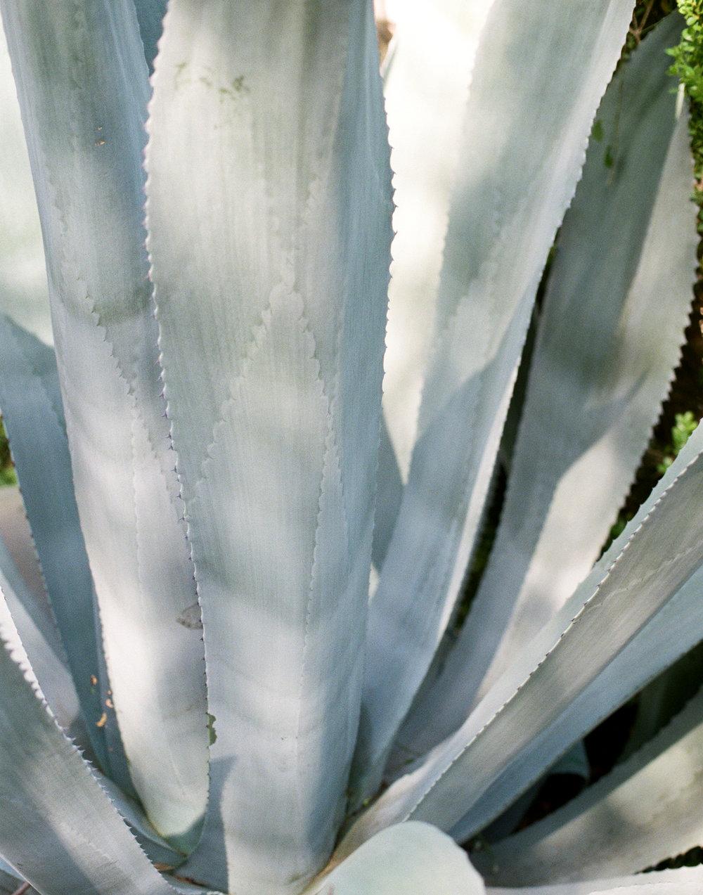 agave.jpg
