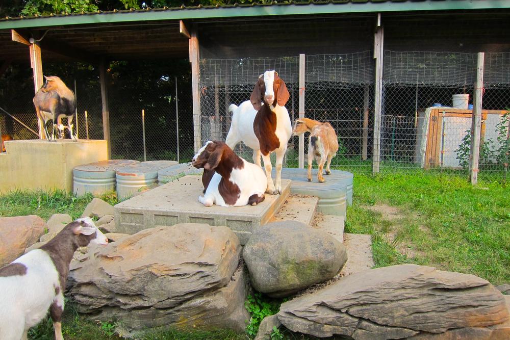 Goats' Stomping Grounds.jpg
