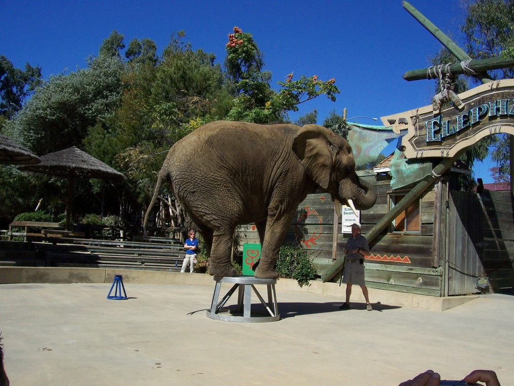 Valerie, an African elephant, was born in the wild, captured, taken from her family, and imported into the United States by Have Trunk Will Travel.  She is now owned by Six Flags along with Liz.
