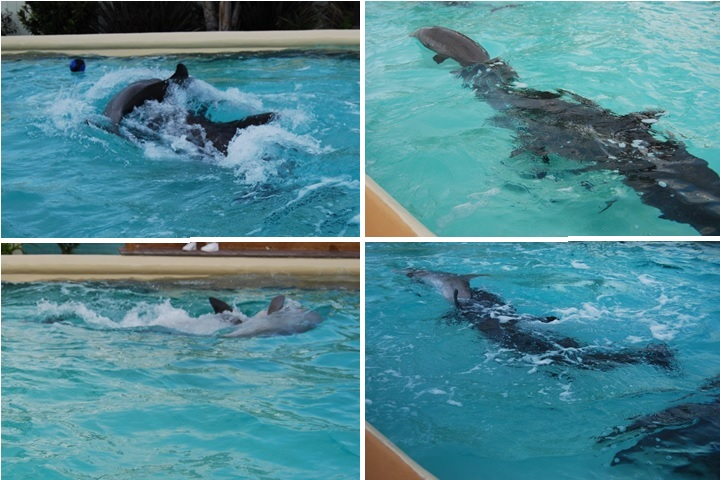 These photos were taken in July 2014 and show Semo ramming Alia, a much smaller dolphin, again and again. It is no wonder he is unhappy and aggressive. He was captured from the wild in 1969 and transferred from one chlorinated, concrete pool to another in five different facilities around the United States: He went from the Atlantic Ocean to Marineland of the Pacific in LA County, then to Sea World in San Diego, then Sea World in San Antonio, then to the Minnesota Zoo and finally Six Flags in 2012. Worse, he was transferred among three different pools with different dolphins in each at Six Flags. Any attempt Semo may have made to integrate into groups of other dolphins was doomed by his many transfers and pool moves. His existence in captivity likely cost him his sanity.