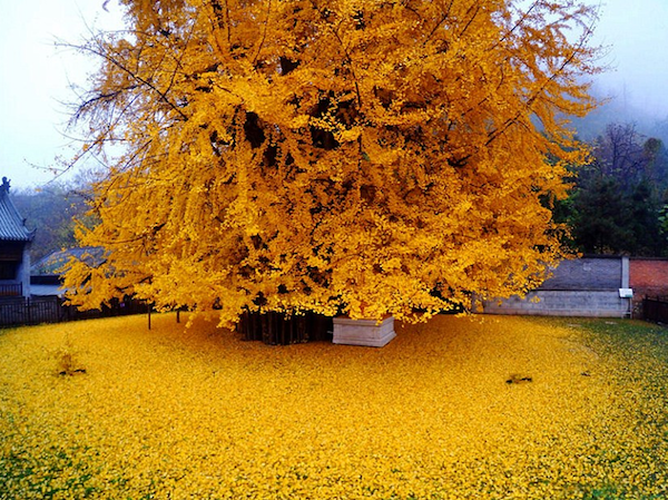 Image of a 1400 year old ginko bilboa tree in Xi'an, China c/o TheDailyMail.com