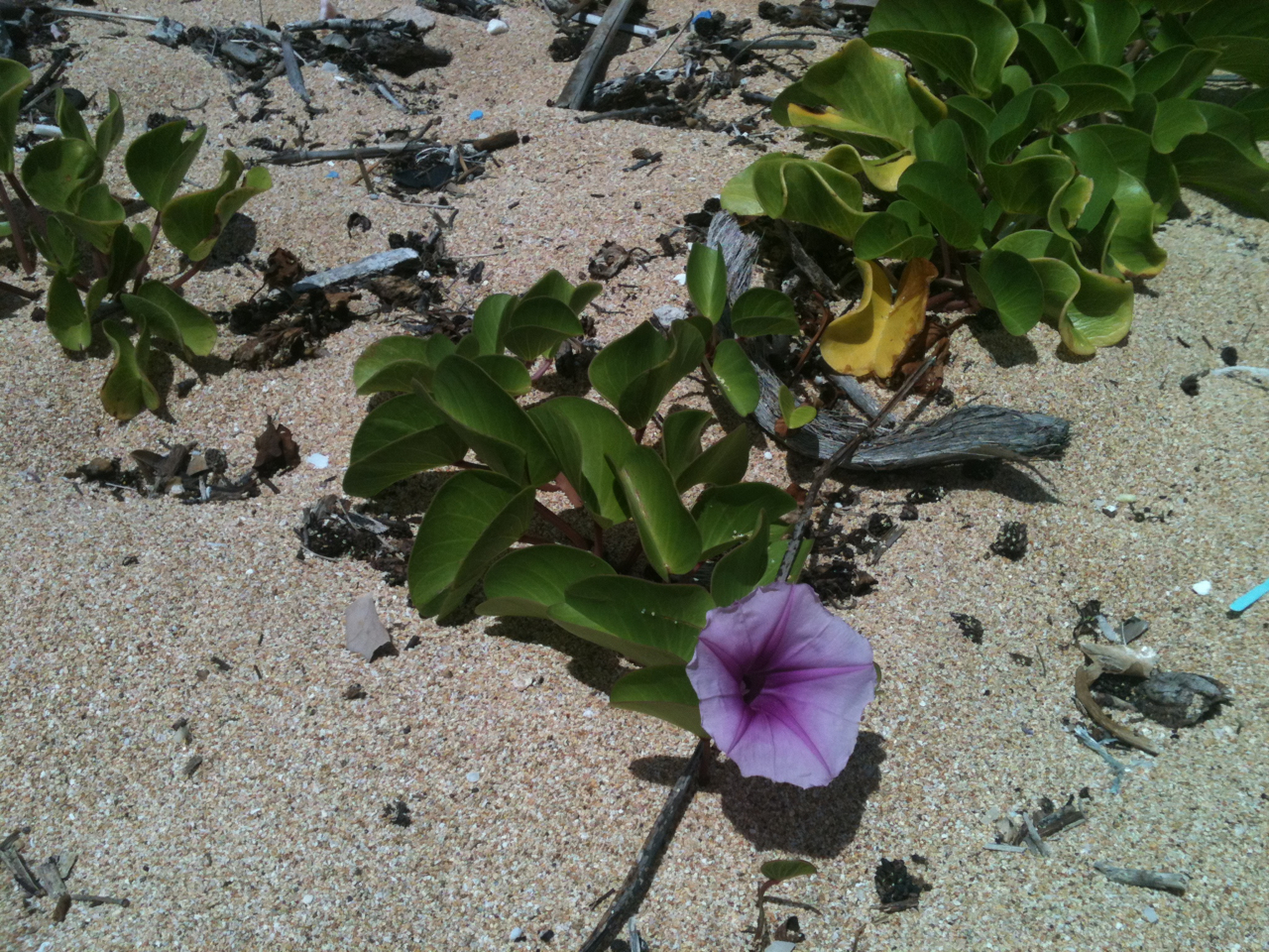 Currently on the isle of Kauai- Ipomoea pes-caprae. This gorgeous sprawling vine spans the glorious shorelines of Hawaii. Commonly known as beach morning glory. Typically found in subtropical environments, the vine flourishes above the high tide line on coastal beaches. This species of morning glory is extremely salt tolerant and is most usually found on or near beaches. Native Hawaiians cultivated beach morning glory for its healing properties. The vines, seeds, leaves and roots were used as a poultice for skin ailments and broken bones. We were lucky to catch these flowers as they are short lived and fall off from the afternoon heat. I would use this similarly to what we have on the main land: ubiquitous plantain.