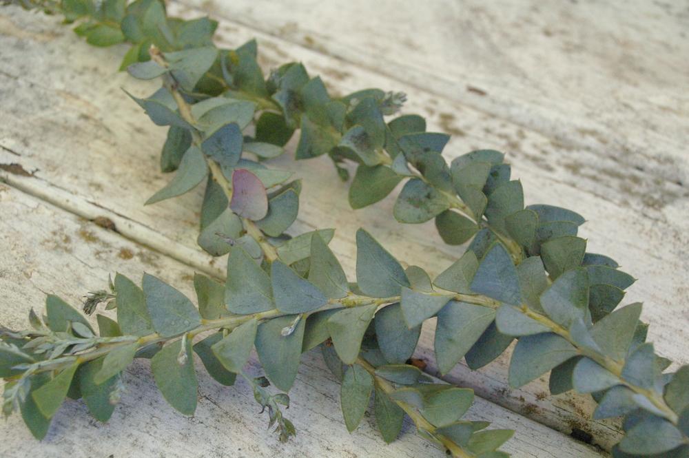 Wattle leaves.