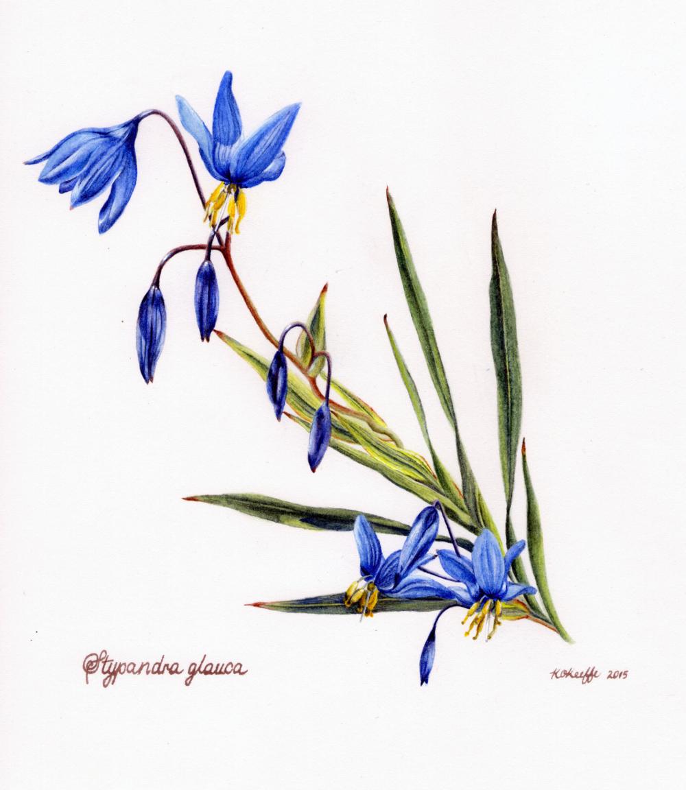 Stypandra glauca 2015