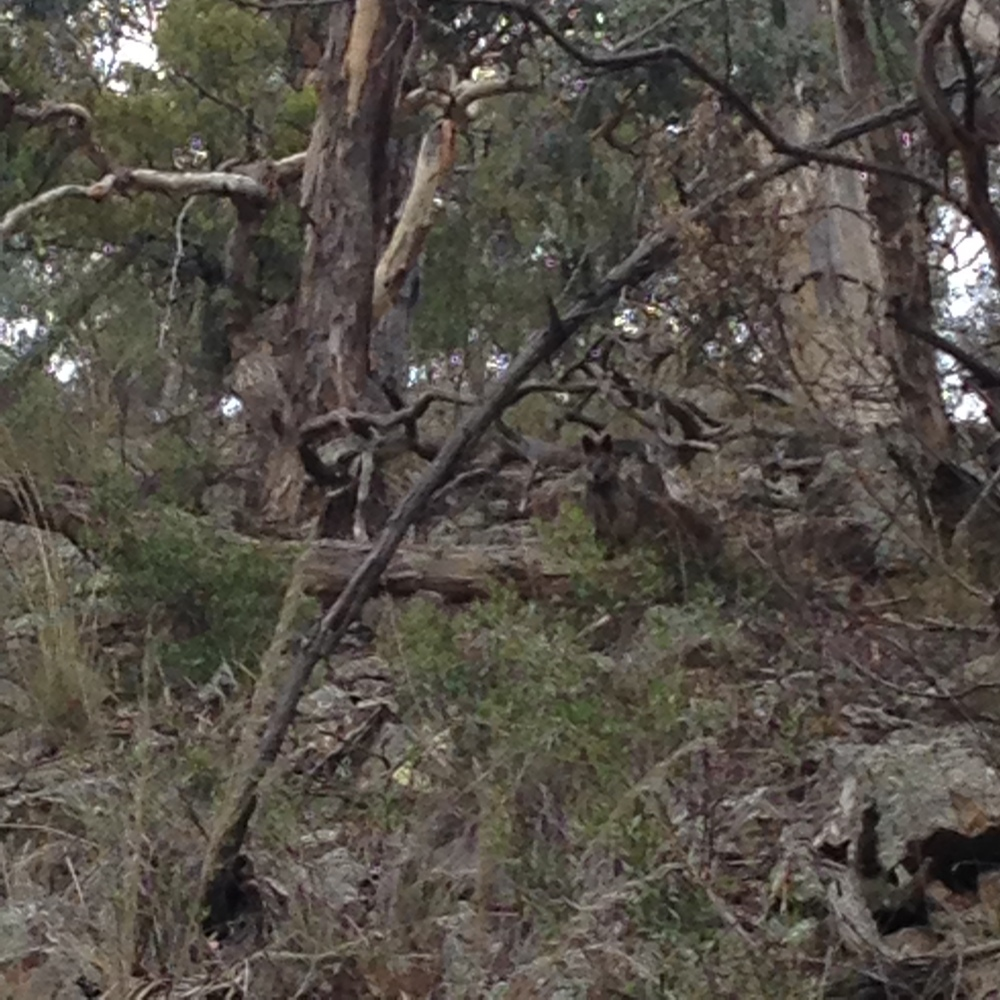 Spot the wallaby.
