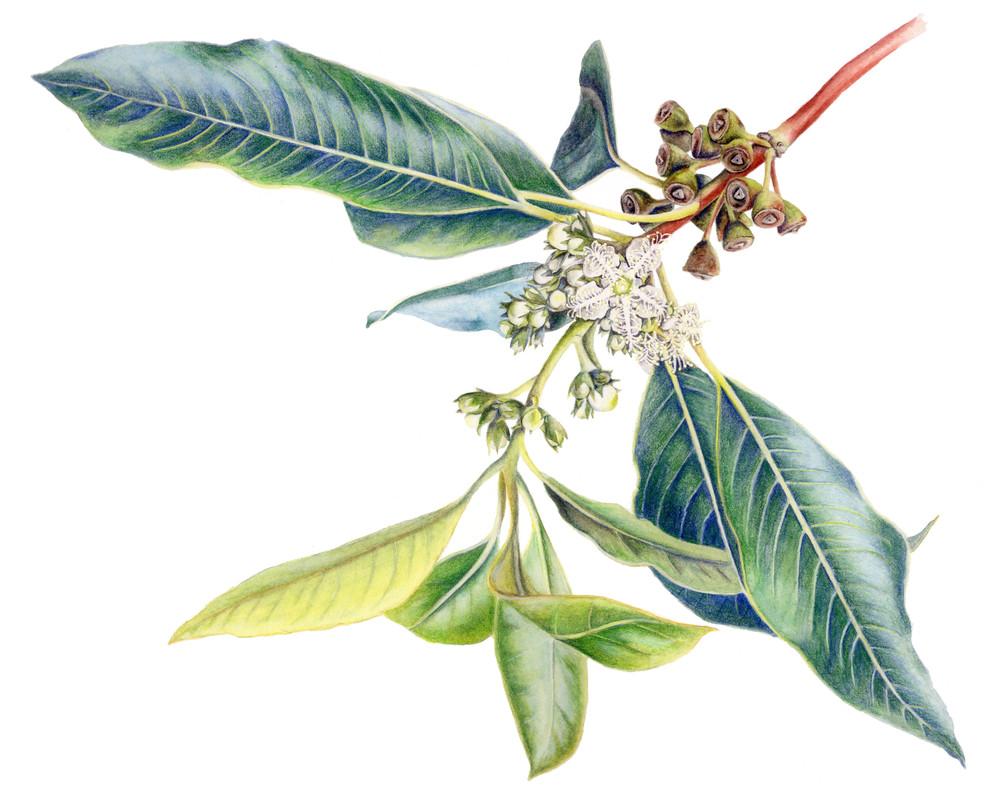 Tristania conferta.jpg