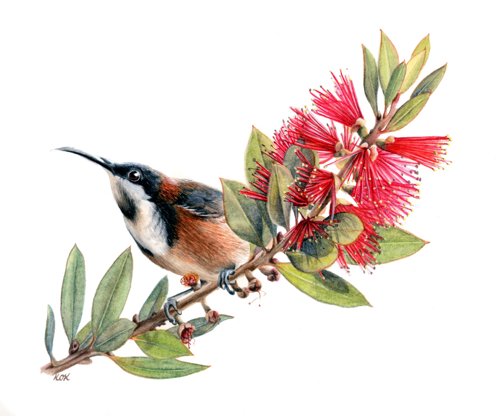 Eastern Spinebill on Callistemon (SOLD)