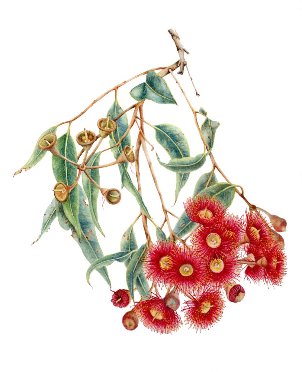 Corymbia ficifolia