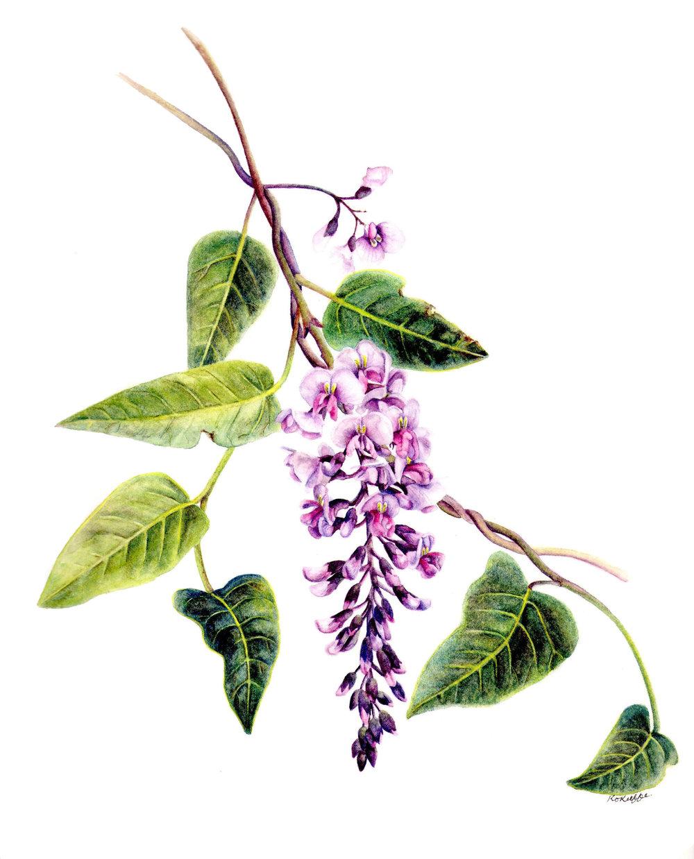 Hardenbergia violacea rosea