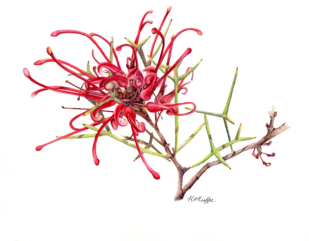 Grevillea wilsonii