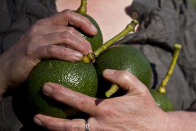 Avocados Spring 1.jpg