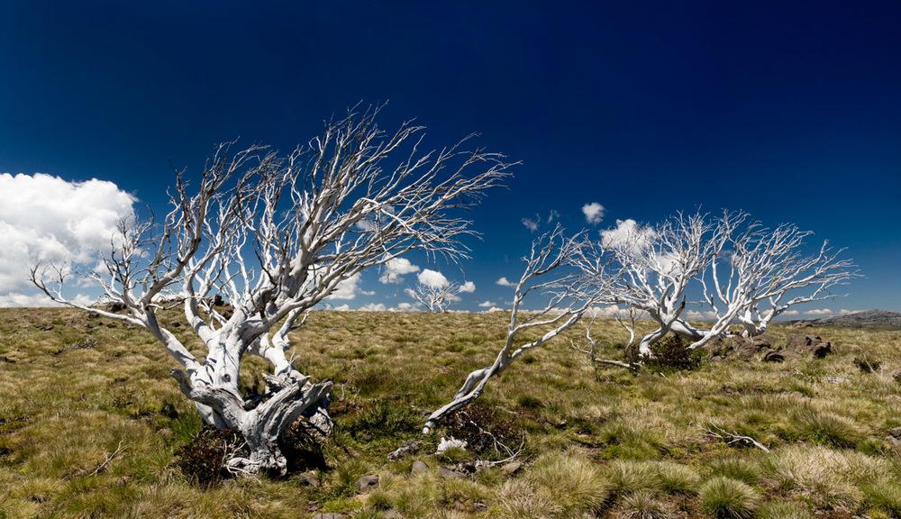 landscape photography Australian alpine snow gums (Eucalyptus pauciflora) killed by fire