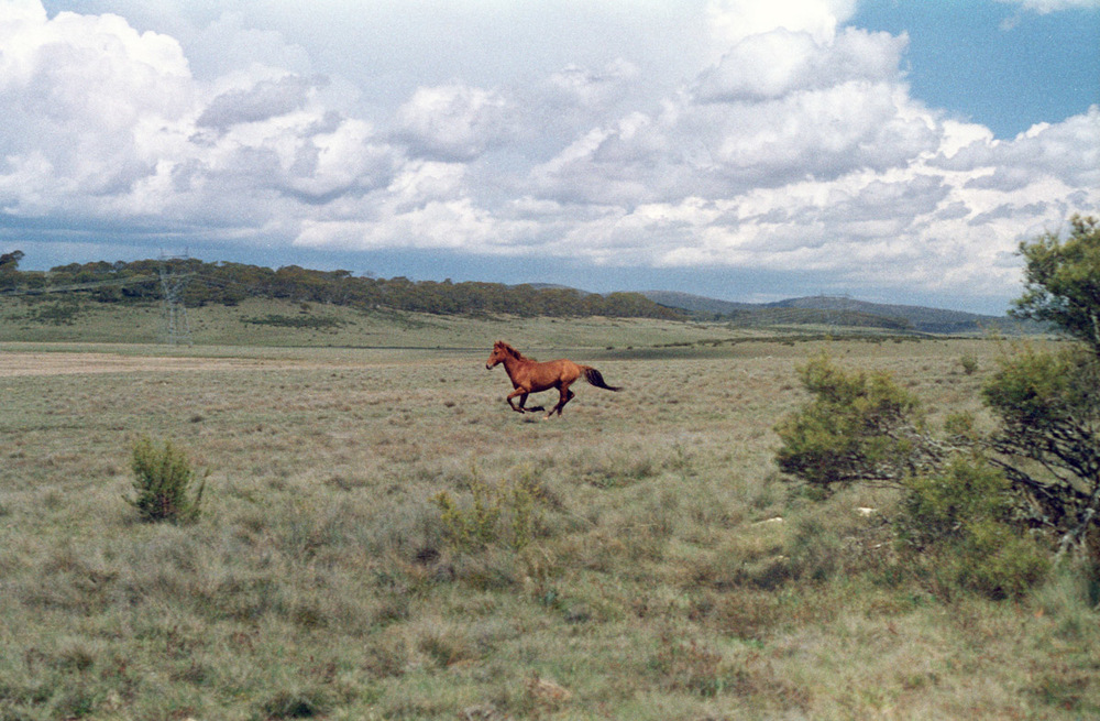 Brumby wild horse galloping stallion bronco