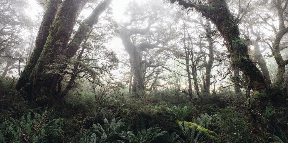 landscape photography New Zealand beech forest (Nothofagus menziesii)
