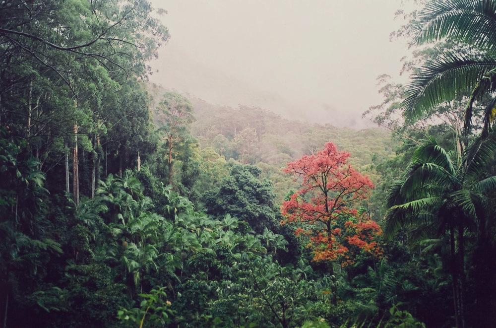 red flame tree (Brachychiton acerifolius) green rainforest.