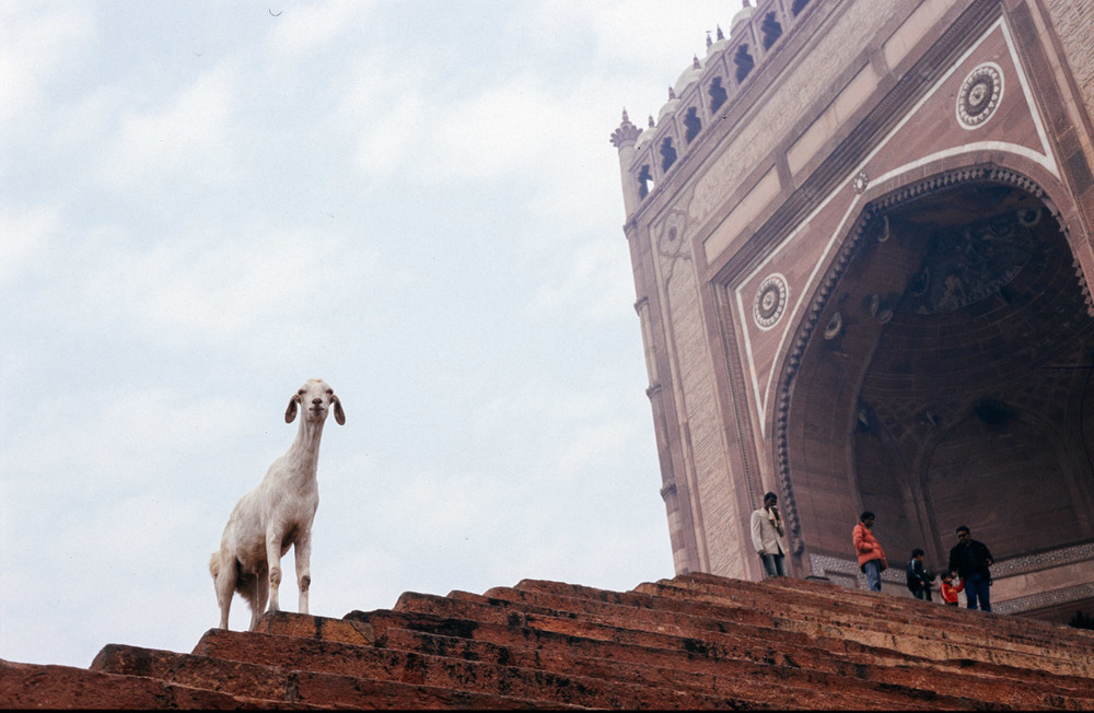 goat urinates stairs india temple