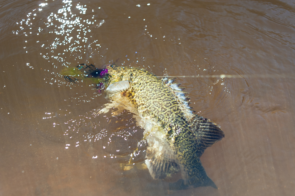 Murray cod caught fly fishing
