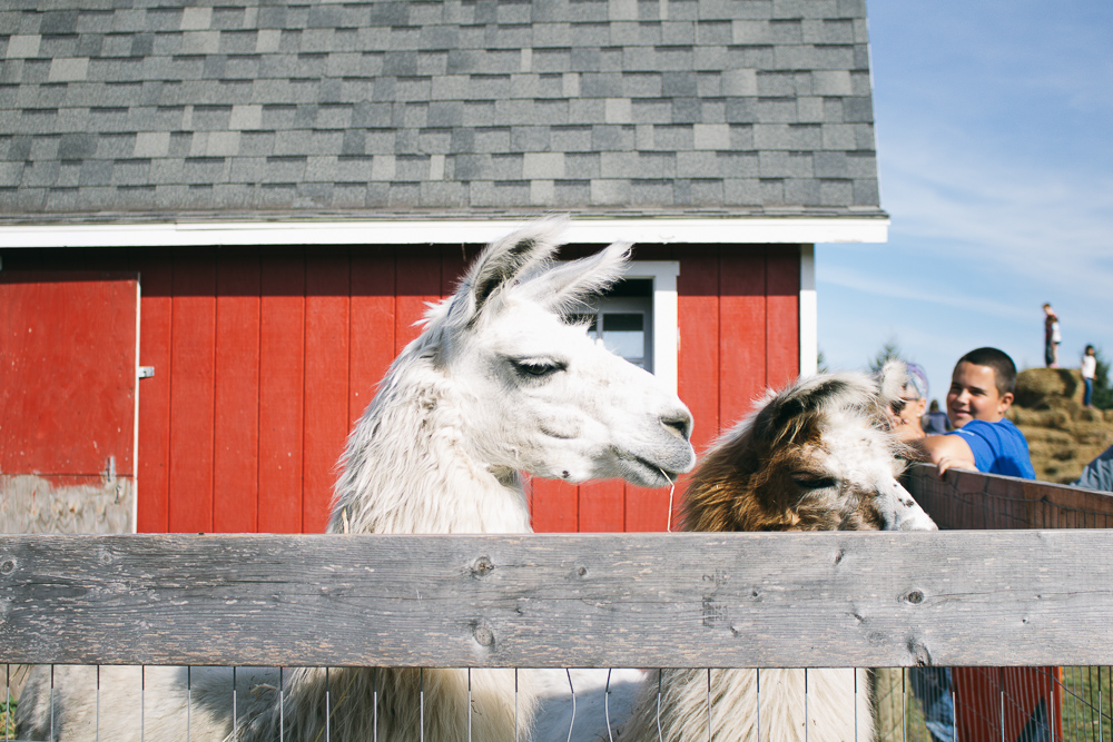 Mostly Llamas at Minnetonka Orchards via The Midwestival
