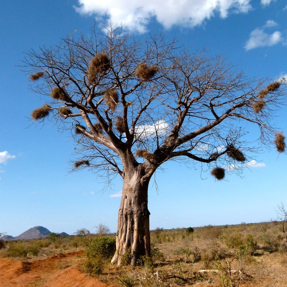 Serengeti National Park - Acacia tree with Weaver bird nests