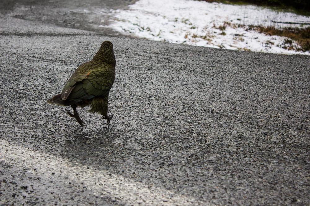 Kia (New Zealand Parrot)
