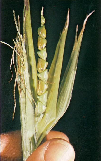 Corn's ancestor, teosinte
