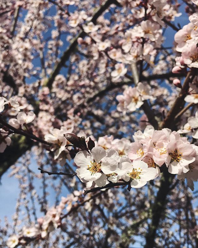 Nothing says spring like a plum tree in full bloom! ⛅️ #plumblossom #plumtree #happyspring
