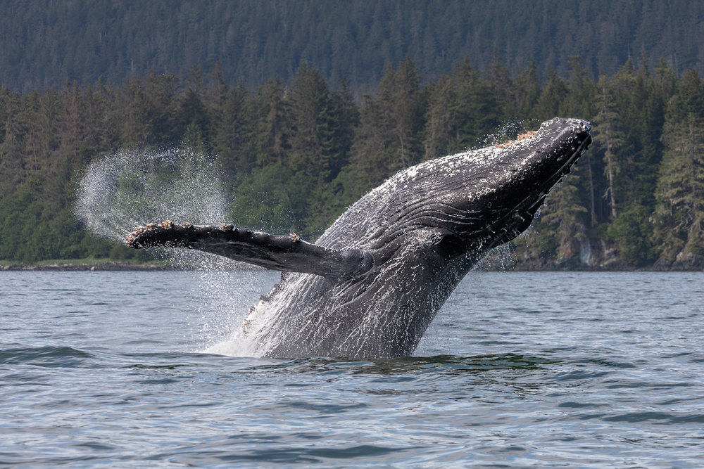 Humpback-Breach-3602.jpg
