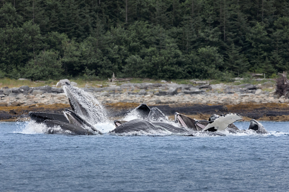 Humpbacks-Netting-7048.jpg