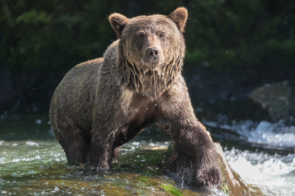 Brown-Bear-2421.jpg