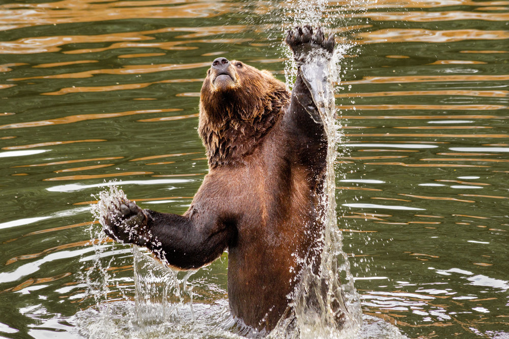 Bear-Jump.jpg