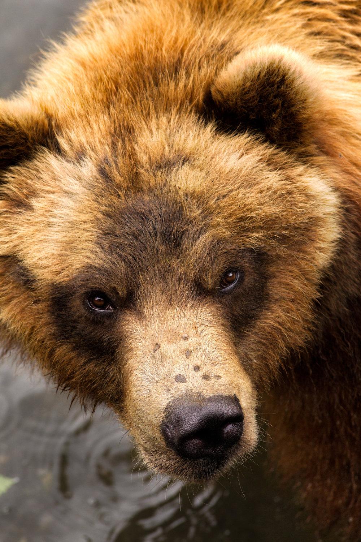 Bear-Stare.jpg