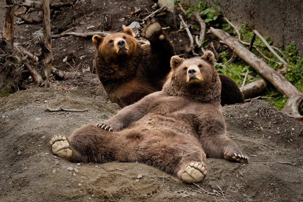 Bears-Wave.jpg