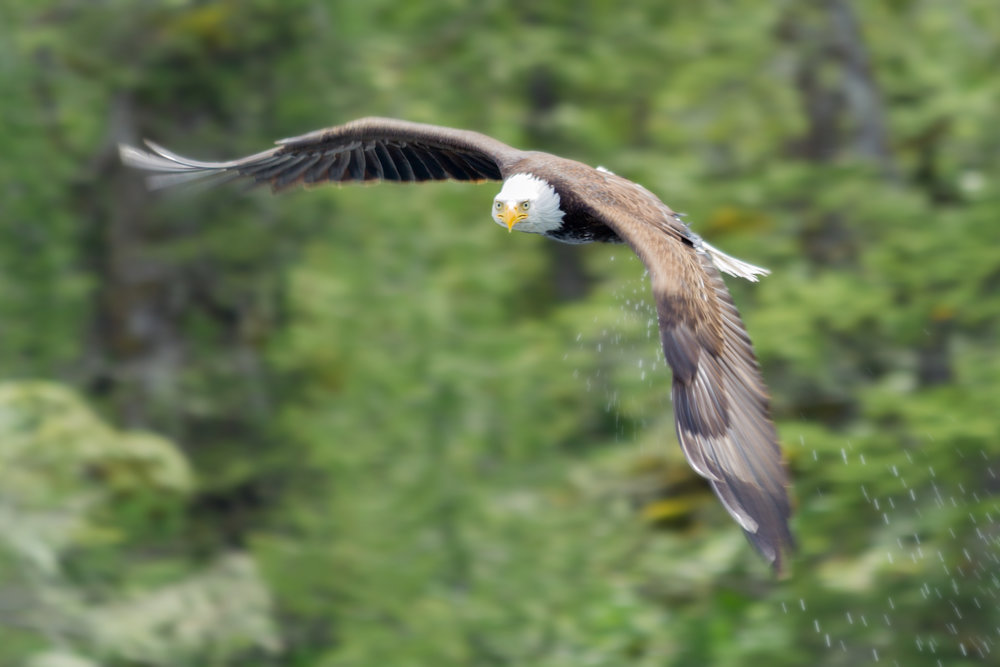 Bald-Eagle-Water-on-Claws.jpg