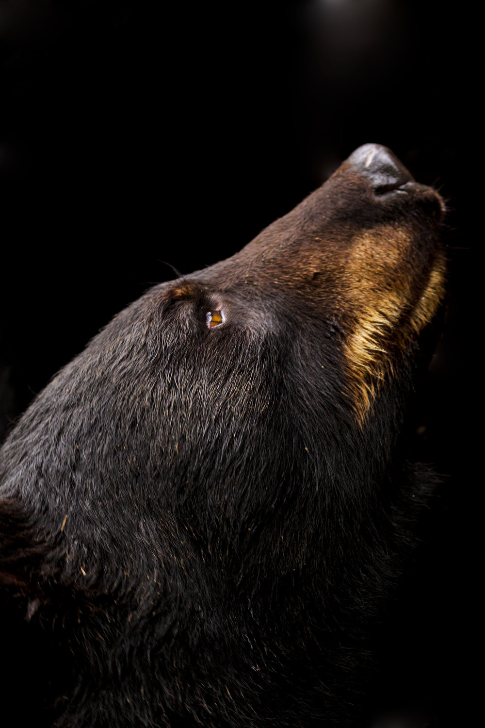 Black-Bear-Up.jpg