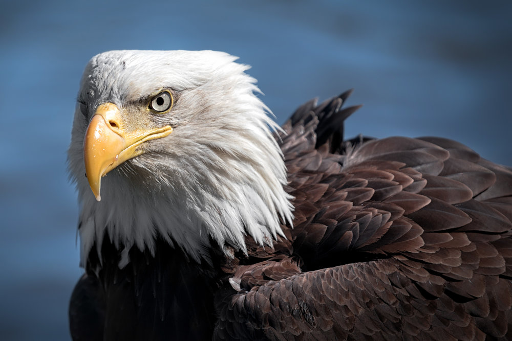 Eagle-Stare-2828.jpg