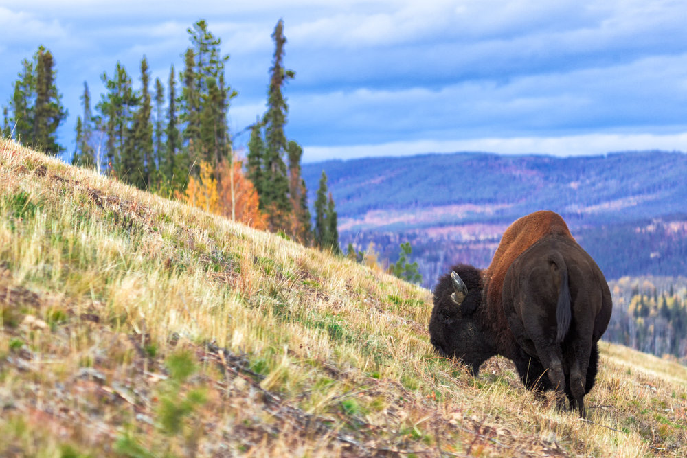 Bison-Grazing-Slope.jpg