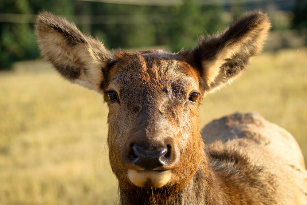 Elk-Stare.jpg