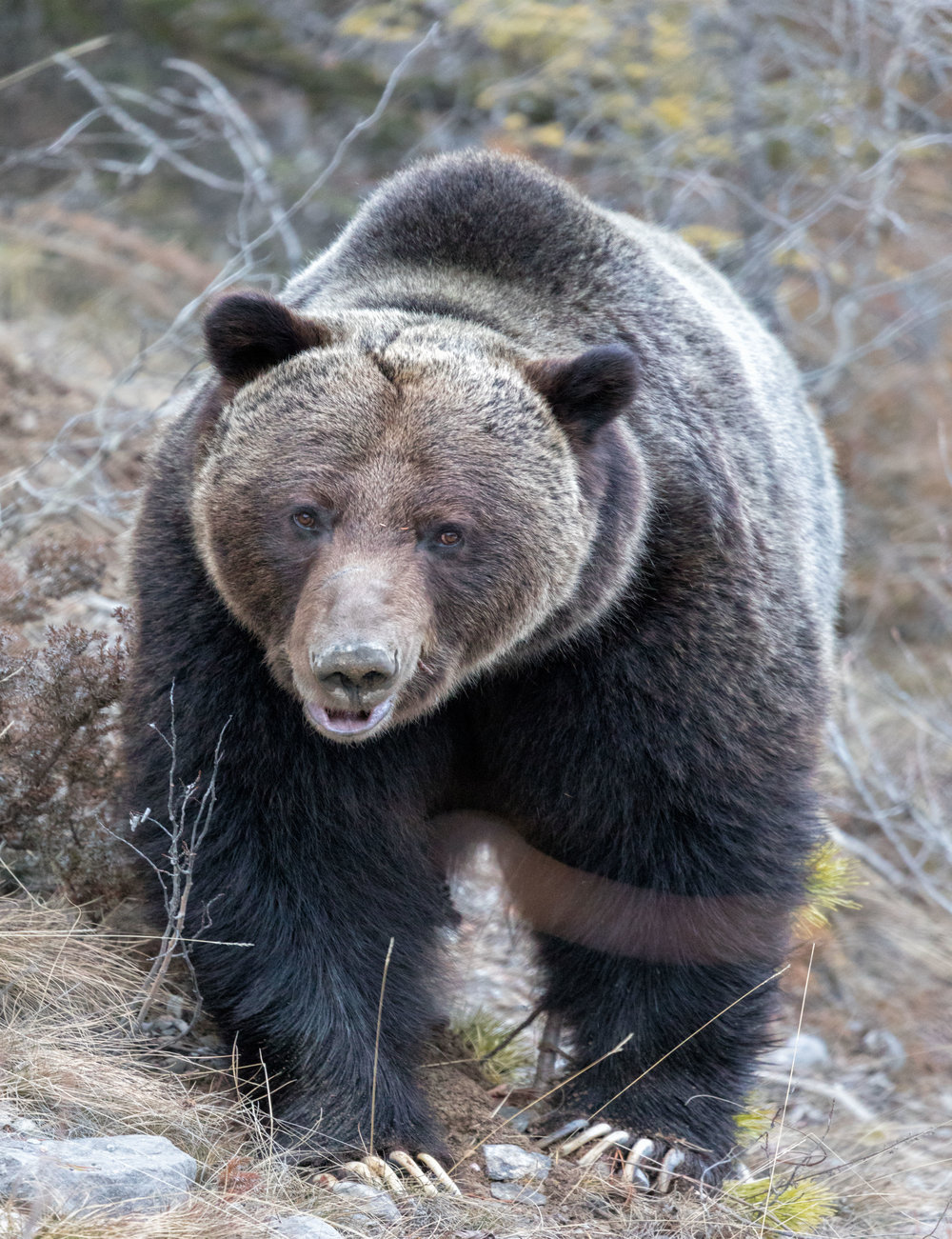 Brown-Bear-in-Jasper-7.jpg