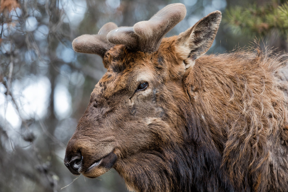 Jasper-Elk-1.jpg