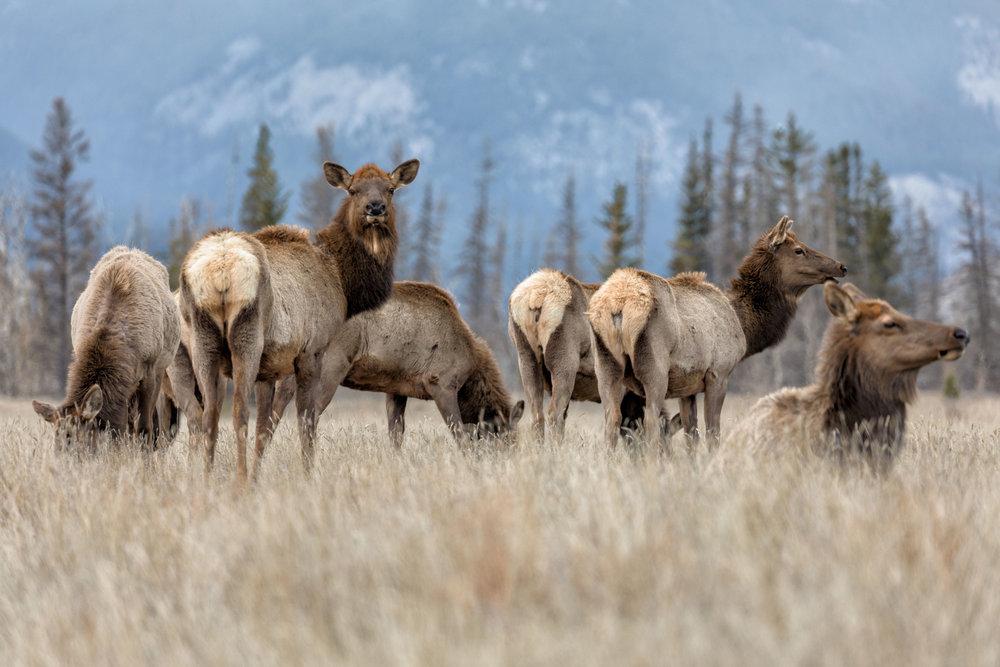Jasper-Elk-6.jpg